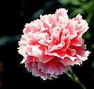 Frilly Carnation by Antionette