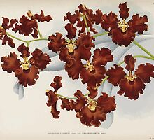 Iconagraphy of Orchids Iconographie des Orchidées Jean Jules Linden V14 1898 0058 by wetdryvac