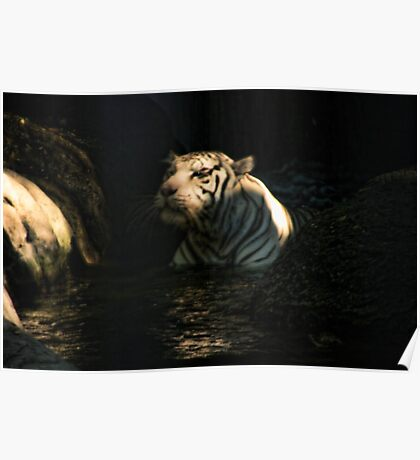 White Tiger at Fort Worth Zoo Poster
