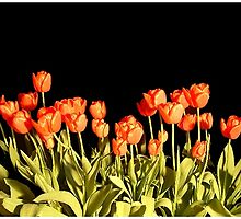 Red Tulips No. 1 by jakking