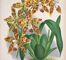 Iconagraphy of Orchids Iconographie des Orchidées Jean Jules Linden V3 1887 0161 by wetdryvac