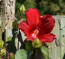 Red Hibiscus by Scott Mitchell