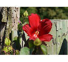 Red Hibiscus Photographic Print