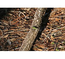 Green Dragonfly Photographic Print