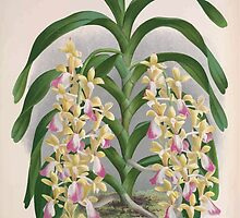 Iconagraphy of Orchids Iconographie des Orchidées Jean Jules Linden V3 1887 0037 by wetdryvac