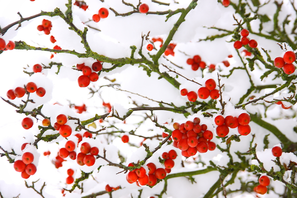 Snow and Berrys by Leon Ritchie