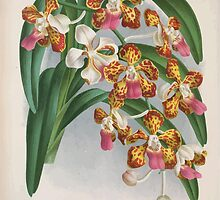 Iconagraphy of Orchids Iconographie des Orchidées Jean Jules Linden V4 1888 0102 by wetdryvac