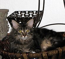 Maine Coon- Kitty by essenceoview