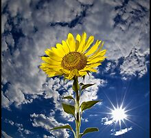 SunFlower by Jeff Cochran