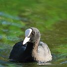 coot by mickeyb