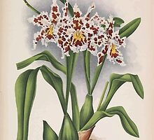 Iconagraphy of Orchids Iconographie des Orchidées Jean Jules Linden V14 1898 0022 by wetdryvac