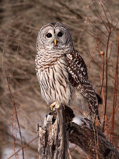 On Bended Knee / Barred Owl by Gary Fairhead