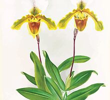 Iconagraphy of Orchids Iconographie des Orchidées Jean Jules Linden V17 1906 0047 by wetdryvac