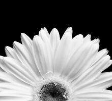 Daisy by Jeffrey  Sinnock