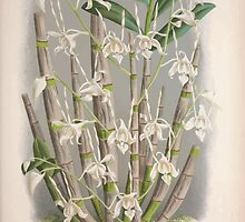 Iconagraphy of Orchids Iconographie des Orchidées Jean Jules Linden V3 1887 0121 by wetdryvac