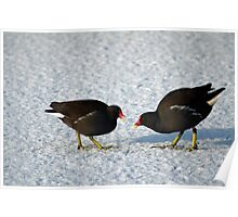 Moorhens on the Ice and Snow Poster