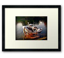 Cygnets Framed Print