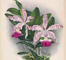 Iconagraphy of Orchids Iconographie des Orchidées Jean Jules Linden V16 1900 0142 by wetdryvac