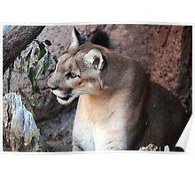 Desert Cougar Poster