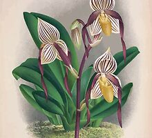 Iconagraphy of Orchids Iconographie des Orchidées Jean Jules Linden V3 1887 0189 by wetdryvac