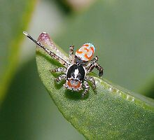 Peacock Jumping Spider - Male by aussiecreatures