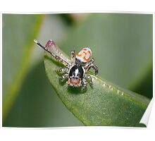 Peacock Jumping Spider - Male Poster