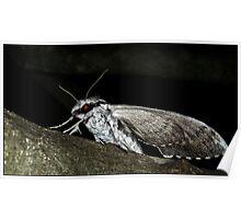 privet hawk Moth Poster