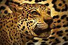 Lots Of Leopard Spots by CarolM
