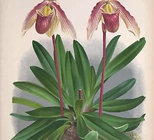 Iconagraphy of Orchids Iconographie des Orchidées Jean Jules Linden V3 1887 0109 by wetdryvac