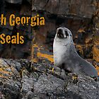South Georgia Seals by Rosie Appleton