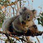 Koala family - Great Ocean Walk, Cape Otway by Ben    Greg