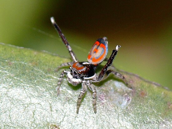 Australian Peacock Jumping Spider by aussiecreatures