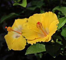 Yellow Hibiscus by Sandy Keeton