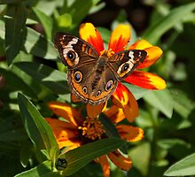 Buckeye Butterfly by Sandy Keeton