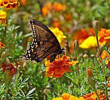 Spicebush on Marigold by Sandy Keeton