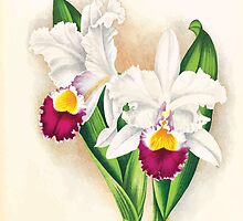 Iconagraphy of Orchids Iconographie des Orchidées Jean Jules Linden V17 1906 0174 by wetdryvac