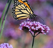 Monarch on Mauve by hummingbirds