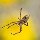Yellow Weaver by garts