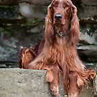 Irish Setter on Ledge by (Tallow) Dave  Van de Laar
