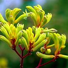 Kangaroo Paws 3 by Paul Todd