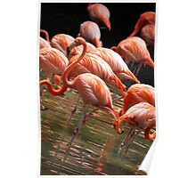 Caribbean Flamingoes Poster