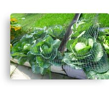 Tub Full of Cabbage  Canvas Print