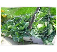 Tub Full of Cabbage  Poster