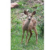 Big-eared Fawn Photographic Print