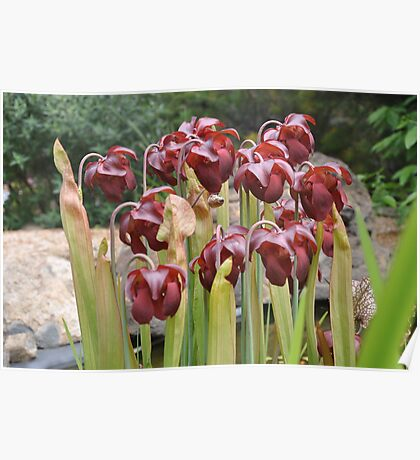 Pitcher plant in flower Poster