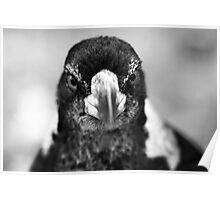 Juvenile Butcher bird Poster
