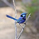 Blue Wren by Rick Playle