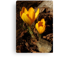 first of spring! Canvas Print