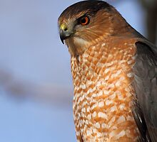 Cooper's Hawk by Rob Lavoie