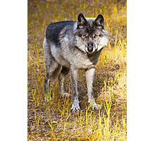 Wild Wolf Photographic Print